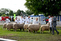 Leicester Longwool @ Three Counties 2012