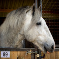 2014 Shire Horse Society National Spring Show