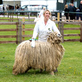 Sheep @ Nottinghamshire 2015